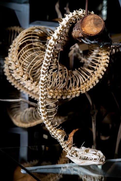 LDUCZ-X456 rock python skeleton