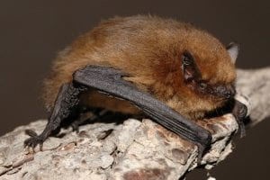 Pipistrellus pygmaeus By Evgeniy Yakhontov - Page - Image, CC BY-SA 3.0, https://commons.wikimedia.org/w/index.php?curid=14637689