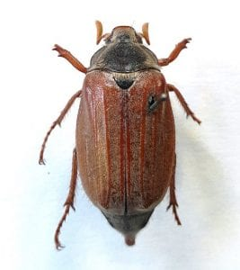 The common European cockchafer, Melolontha melonlontha. LDUCZ-L239