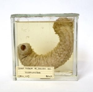 LDUCZ-S349 sea cucumber