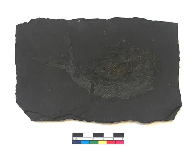 Image of LDUCZ-V1810 Palaeoniscus_freieslebeni from the Grant Museum of Zoology
