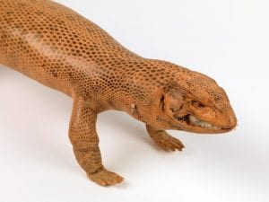 Taxidermy Bosc monitor lizard. LDUCZ-X1314