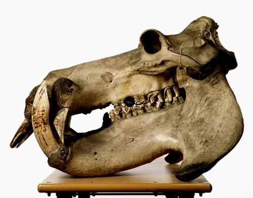 LDUCZ-Z32 hippopotamus skull