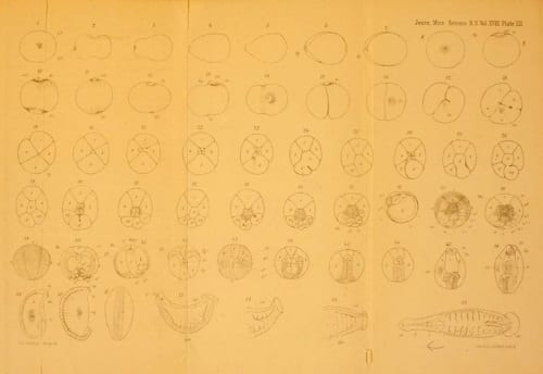 Plate XII from C.O. Whitman's The embryology of Clepsine