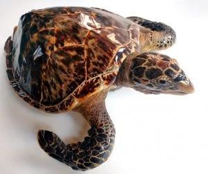 LDUCZ-X1580 hawksbill turtle Eretmochelys imbricata
