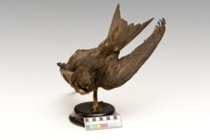 Taxidermy swift LDUCZ-Y1552