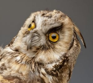The googly-eyed long-eared owl. LDUCZ-Y1604