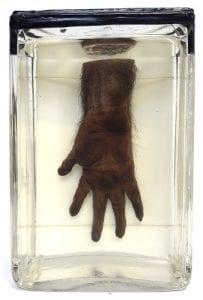 Preserved chimpanzee manus (hand). LDUCZ-Z1146.