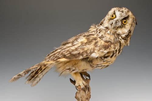 Long eared owl. Should we replace his eyes? LDUCZ-Y1604