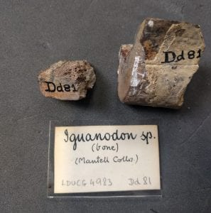 Iguanodon Bones from Gideon Mantell's collection LDUCG-X1606