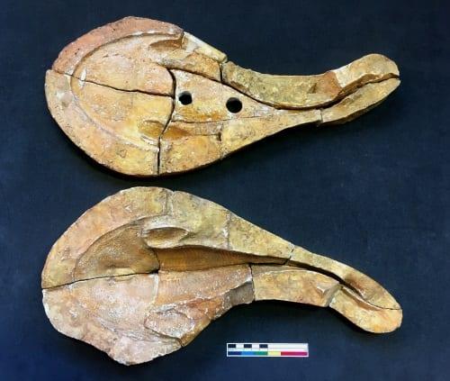 LDUCZ-V1801 Cephalaspis salweyi mould
