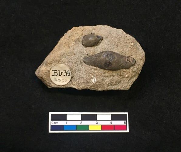Image of LDUCZ-V1997 Acrodus anningiae