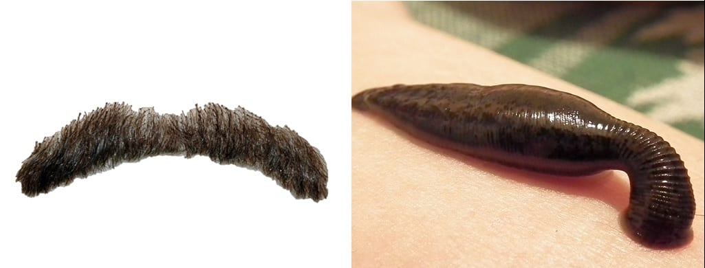 Image comparing the fossil to a false moustache. Now it is even more funny as the fossil isn't there again and its a moustache compared to the leech. Side splitting stuff folks.