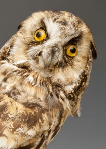 Wywłoczka, sówka artysty Y1604-owl