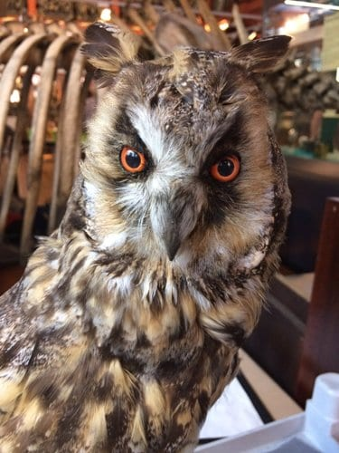 AFTER. Long-eared owl: googly-eyed no more. LDUCZ-Y1604