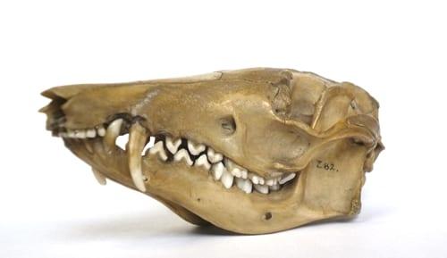 Bilby skull LDUCZ-Z82