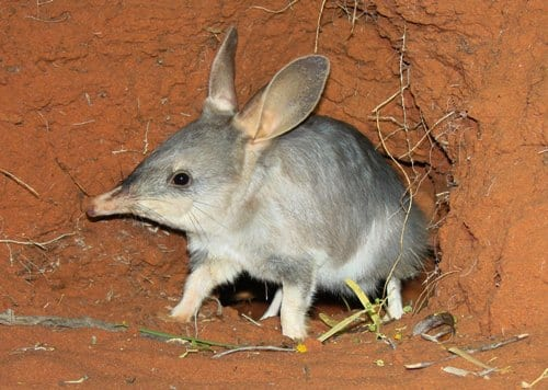 A reintroduced bilby emerging from its burrow at Arid Recovery. (C) Jack Ashby