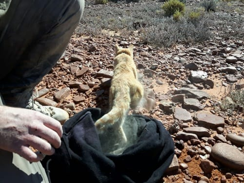 A feral cat being re-released after being fitted with a radio collar. (C) Jack Ashby