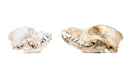 Domestic dog skulls. Humans' first domestication was that of dogs from wolves. Today humans have forced the descendants of wolves to become the most anatomically variable of all species.