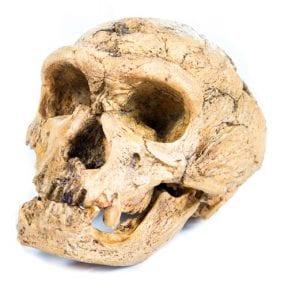 Z2020 Neanderthal skull cast