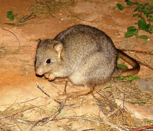 Burrowing bettongs became extinct on mainland Australia, but survived on a couple of islands. (C) Jack Ashby