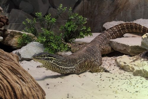 Australian yellow-spotted monitor lizard