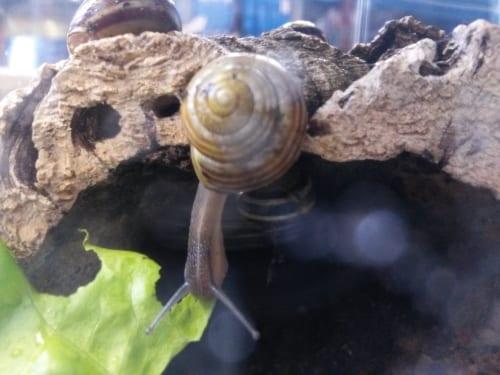 Cepaea snail eating lettuce