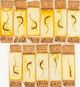 Newt slides from the collection of the Royal College of Surgeons