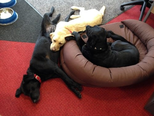 It's a Dog's Life: When they're not working, the dogs at Medical Detection Dogs hang out in the office