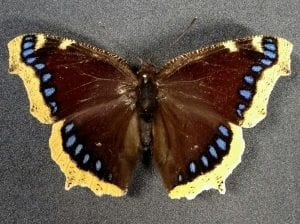 Nymphalis antiopa (Camberwell Beauty, or the Grand Surprize) LDUCZ-L3333