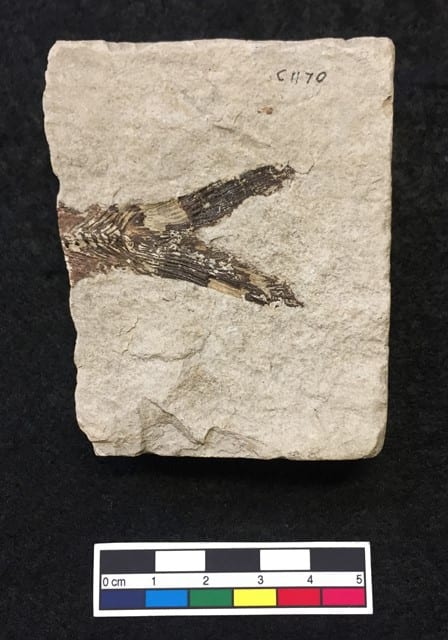 LDUCZ-V893 Armigatus brevissimus fossil from the Grant Museum of Zoology UCL