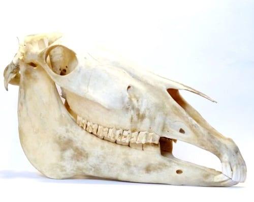 LDUCZ-Z1648 Equus caballus skull