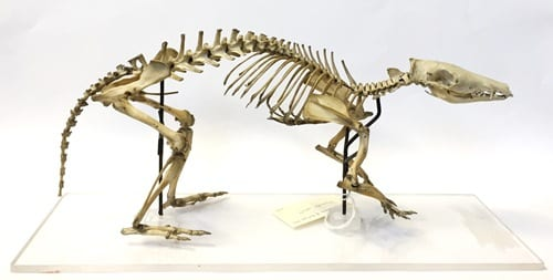 Long-nosed bandicoot skeleton with *A LONG-NOSED BANDICOOT SKULL*. LDUCZ-Z85