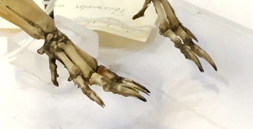 The distinctive split phalanges of a bandicoot. LDUCZ-Z85