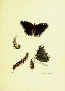 Camberwell Beauties from The Papilios of Great Britain, 1795