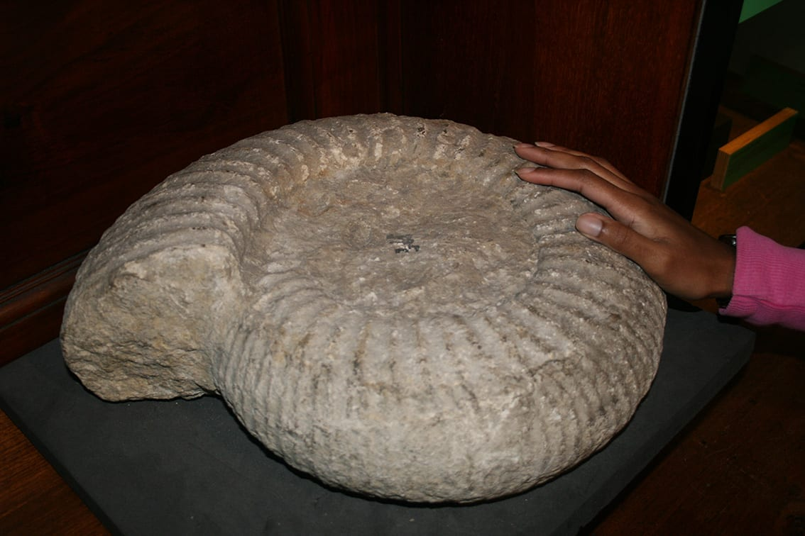 A giant ammonite (Titanites giganteus) in the Grant Museum. LDUCZ-R205