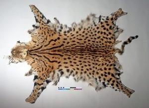 Serval (Leptailurus serval) pelt LDUCZ-Z2776