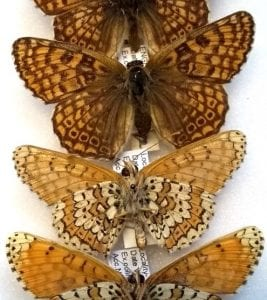 L1313 (second from top) and other specimens of Melitaea cinxia in the Grant Museum collection