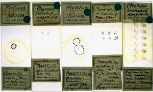 Microscope slides prepared by Doris Mackinnon, showing Monocystis, a parasite of the sperm sacs of earthworms.