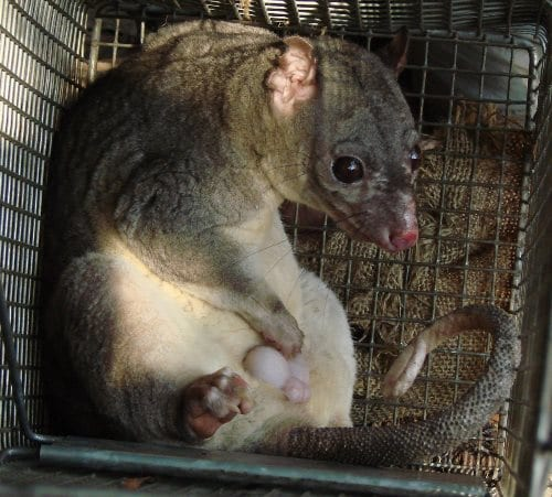 A scaly-tailed possum, showing his forked penis, which sits behind the scrotum.