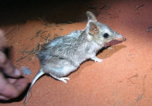 "A bandicoot being released on ecological fieldwork. Their scientific name means ""pouched badger"". (C) Jack Ashby"