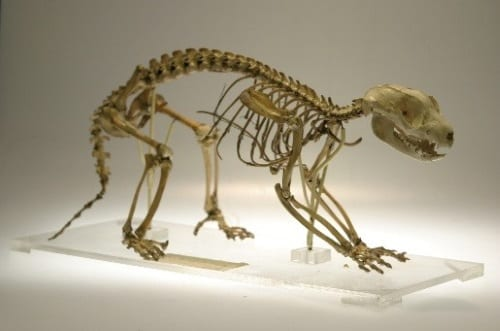 Our common spotted cuscus skeleton. LDUCZ-Z75