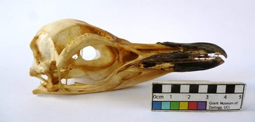 A chinstrap penguind skull. LDUCZ-Y1577