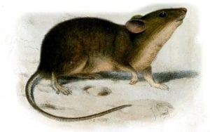 St Kilda house mouse (Mus musculus muralis) by J Smit 1899, Proceedings of Zoological Society of London