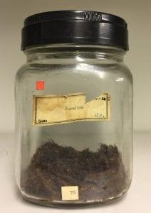 G480 Hermione sp. Dried up mass of bristle worm bristles. Tissue no longer present.