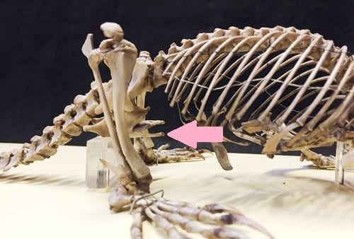 The platypus' epipubic bones, which are not found in placental mammals like us.