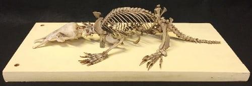 A platypus skeleton. LDUCZ-Z26