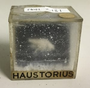 NON2131 Haustorius sp. Amphipod losing the battle against paraformaldehyde.