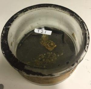 T21 Salpa fusiformis. Specimens in mouldy pitch fluid.