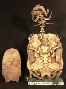 Mata mata skeleton Chelus fimbriata LDUCZ X186